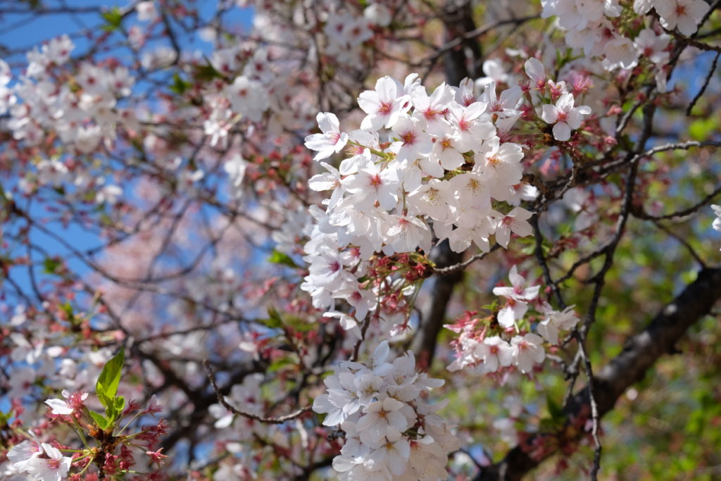 Cherry Blossom (I mean I guess... I'm not a biologist, but that's what the city is famous for)