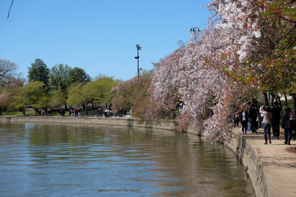 More Cherry Trees (?)