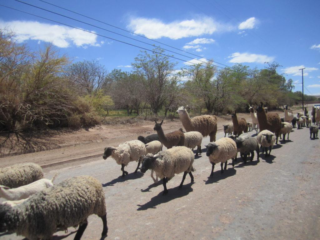 Suddenly - Lamas!